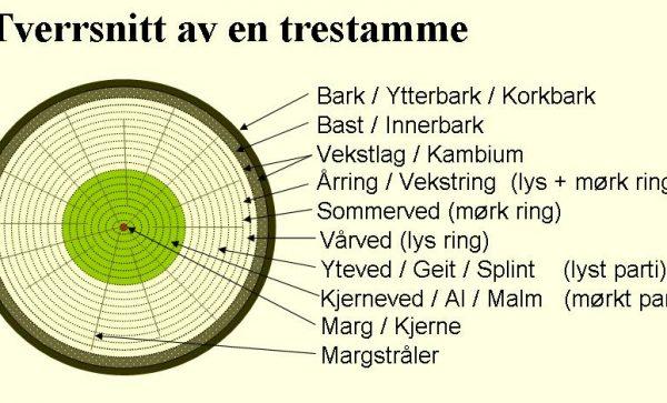 Tverrsnitt_av_en_trestamme